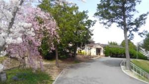 学園のしだれ桜